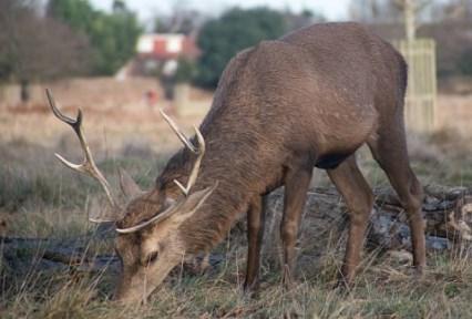 Разведение благородных оленей в Твери